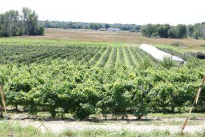 Vineyard 2121